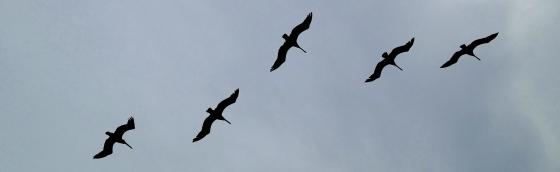pelicans613